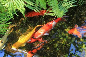 Adding Gravel to Koi Ponds San Diego, CA