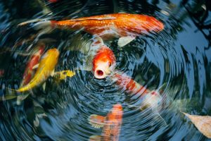 Average Life Length for Koi Fish San Diego CA