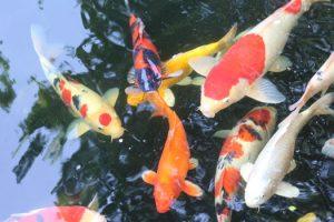 What Koi Need in Koi Ponds San Diego, CA