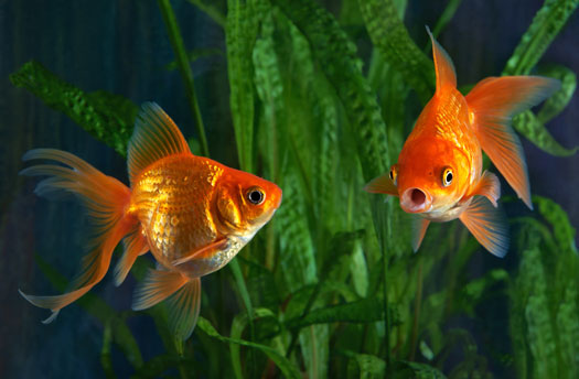 How to Tell if Fish Are Fighting or Mating in Aquariums San Diego, CA