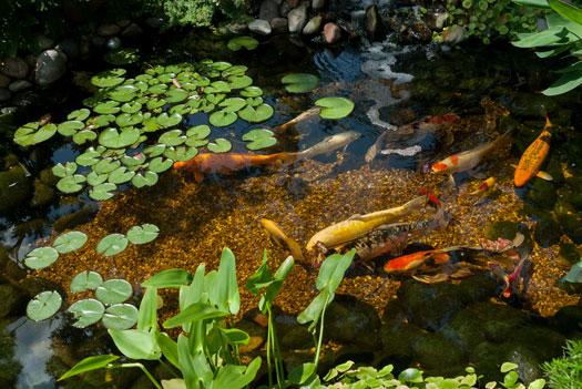 Is Algae Okay for Koi Ponds San Diego, CA
