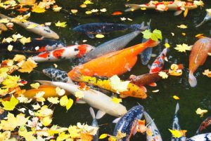 Reasons for Lack of Oxygen in a Koi Pond San Diego, CA