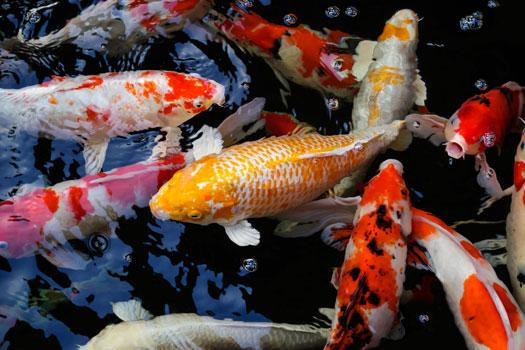 How Many Koi Can You Add to a Koi Pond San Diego, CA