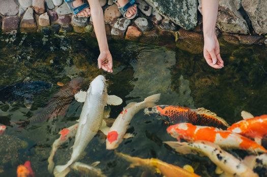 How Often Should You Feed Koi Fish San Diego, CA