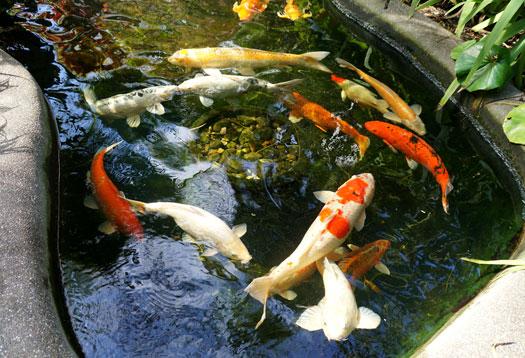 Adding Tap Water to Koi Ponds San Diego, CA