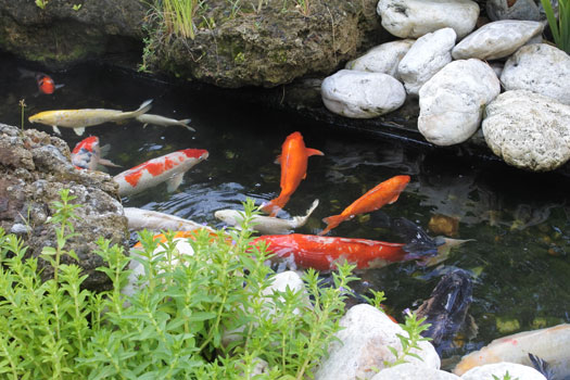 Do Koi Only Get as Big as the Koi Pond San Diego, CA