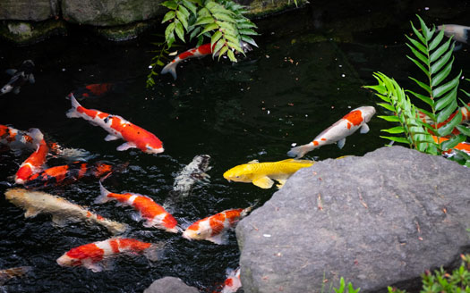Distinguishing between Male & Female Koi Fish San Diego, CA