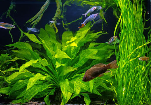 Setup of Freshwater Planted Aquariums San Diego, CA